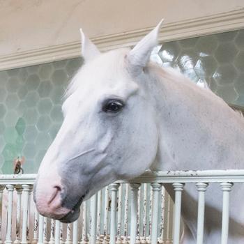 Windsor Grey horse at the Royal Mews